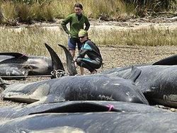 วาฬเกยตื่นเกลื่อนหาดนิวซีแลนด์