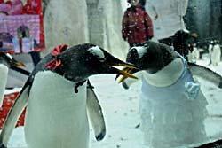 น่ารัก! วันแต่งงานเพนกวิน