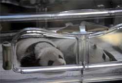เปิดตัว!ลูกหมีแพนด้าแฝด สวนสัตว์มาดริด