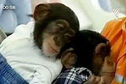 สวนสัตว์ในจีนพาลิงเดินช้อปปิ้งในห้างหรู
