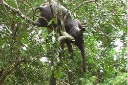ตะึลึง!! ช้างโดนน้ำพัด ตายติดอยู่บนต้นไม้
