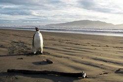 ประหลาด! เพนกวินขั้วโลกใต้หลงมาหาดนิวซีแลนด์