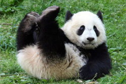แฟนคลับเฮ! จีนให้หลินปิงอยู่ไทยต่อ2ปี