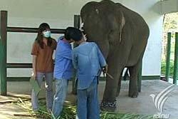 สลด! ช้างท้องแก่ถูกพรานป่ายิงตาเกือบบอด