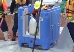 นิวซีแลนด์ส่งเพนกวินหลงทาง กลับขั้วโลกแล้ว