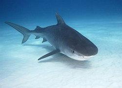 กรมประมงเผยไทยไม่ค้านขึ้นทะเบียนฉลาม