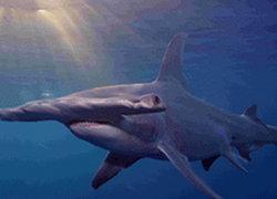 กลุ่มอนุรักษ์กดดันคุ้มครองฉลาม3สายพันธุ์