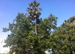 ต้นตาลขึ้นกลางต้นโพธิ์อายุกว่า100 ปี