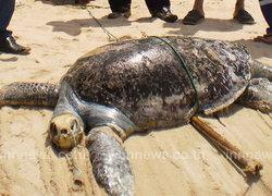 เต่ากระตายขึ้นอืดชายหาดระยอง