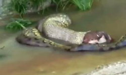 """ชมคลิป """"งูยักษ์อนาคอนดา""""ขย้อนวัวทั้งตัว ในป่าดิบอเมซอน"""