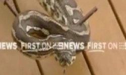 หวาดเสียว!! งูหลาม 6 ฟุต พันรอบแขนทารกขณะนอนหลับ
