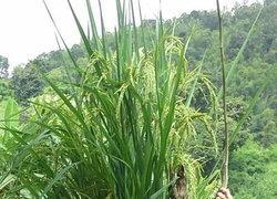 ต้นข้าวยักษ์สูง3.10ม.จ่อวิจัย-ขยายพันธุ์