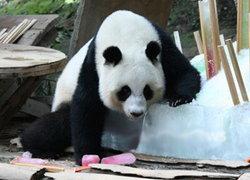 สวนสัตว์เชียงใหม่จัดพิธีสู่ข้าวเอาขวัญหลินปิง