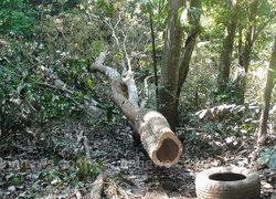 มอดไม้ลอบตัดไม้พะยูงพื้นที่งกรมป่าไม้