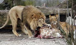 ช็อก สวนสัตว์สุดโหดฆ่ายีราฟปล่อยให้เด็กดูเป็นอาหารให้สิงโตกิน เมินเมตตา′ขอไถ่ชีวิต′ (ชมภาพ)