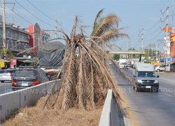 ปาล์มเกาะกลางถนนปทุมหวั่นอันตรายคนสัญจร