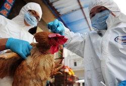 มาเก๊าฆ่าไก่7,500ตัวผวาไวรัสไข้หวัดนกลาม