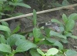 ล่างูเห่าบุกหมู่บ้านดังสุพรรณทุบตายไปกว่า 30 ตัว