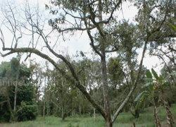 ชาวสวนจันทบุรีขาดน้ำต้องปล่อยยืนต้นตาย