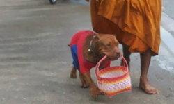 ประทับใจสุนัขพันธ์พิทบูล คาบตะกร้าบิณฑบาตรกับหลวงพี่