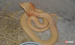 พบงูเห่าเผือกขนาดใหญ่ เจ้าของเลี้ยงไว้เป็นมงคล