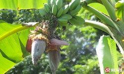 ฮือฮา! กล้วยประหลาด 2 ปลีในเครือเดียว แฝด 2-3 ใบติดกัน
