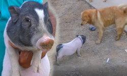 """เผยคลิป """"เจ้าเฮงเฮง"""" หมูจิ๋วแสนรู้เลียนแบบพฤติกรรมสุนัข"""