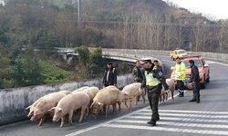 ชุลมุน! ตำรวจวิ่งต้อนหมูหนี หลังรถบรรทุกคว่ำบนทางด่วน