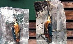 นกกระเต็น 2 ตัว แข็งตายในน้ำแข็งที่เยอรมัน คาดมีอุบัติเหตุตอนจับปลา