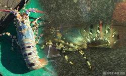 ชาวประมงจีนฮือฮา จับได้กุ้งมังกรยักษ์ ยาวเมตรกว่า