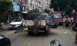 สุดโหด! ชาวประมงจีนจับฉลามวาฬ ใช้เลื่อยแล่เนื้อแห่ขาย
