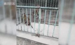 สวนสัตว์จีนวุ่น! ลูกเสือแอบหนีจากห้องเลี้ยงดูไปหาแม่