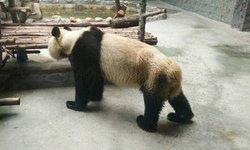 ชาวเน็ตจีนอึ้ง! แพนด้าผอมจนเห็นซี่โครง สวนสัตว์แจงฟันเสื่อม