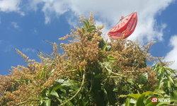 แบบนี้ก็มีด้วย ชาวสวนแก้เคล็ดแขวนกางเกงใน ป้องกันฝนหลงฤดู