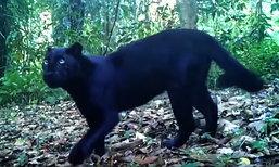 รู้จัก เสือดำ กับชะตากรรมในผืนป่า