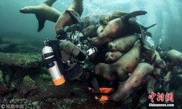 ขอเข้ากล้องด้วยคน สะพรึงเบาๆ เมื่อเหล่าสิงโตทะเลอยากเล่นกับช่างภาพ