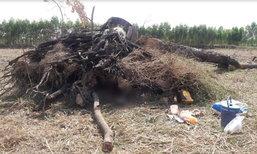 หนุ่มมุดหลบแดดใต้รากไม้ใหญ่ เด้งดีดกลับทับร่างตายไม่ทันตั้งตัว
