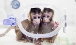 """จีนประสบความสำเร็จ โคลนนิ่ง """"ลิง"""" คู่แรกของโลก"""