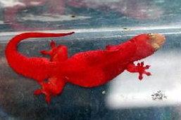 ฮือฮาจิ้งจกสีแดง เมืองกรุงเก่า