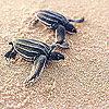 เต่าทะเลไทยที่เกาะมันใน