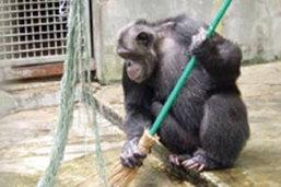 ทึ่งชิมแปนซีแสนรู้-ล้างกรงเอง