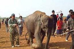 ช้างป่าบุกสวนผลไม้เมืองจันทบุรี