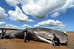 เศร้า! วาฬยักษ์ ตายเกยตื้นหาดที่อังกฤษ