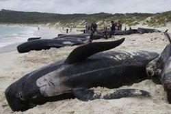 ตายอีก! พบวาฬ 21 ตัวเกยตื้นที่ออสเตรเลีย