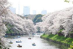 เริ่มแล้ว! เทศกาลชมดอกซากุระบาน