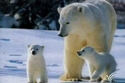 นักอนุรักษ์ค้าน! นำหมีขั้วโลกมาสวนสัตว์เชียงใหม่