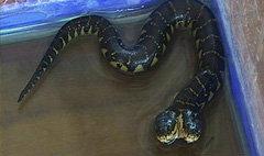 ฮือฮา! งู 2 หัวโผล่ที่จันทบุรี