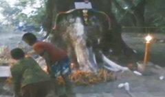 คนร้อยเอ็ดแห่ไหว้ ต้นไม้ใหญ่คล้ายหัวช้าง