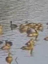 ฝูงนกเป็ดแดงนับพันหนีหนาวหากินหนองน้ำอ่างทอง
