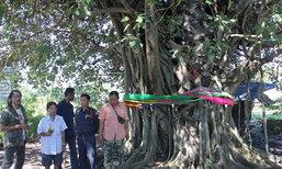 """อุตรดิตถ์แห่ขอเลขเด็ด""""ต้นไม้ 3 สายพันธุ์ 3 ต้น"""" โอบรัดเป็นต้นเดียวกัน มีคนเฮงถูกหวยรวยหลักล้านมาแล้ว"""